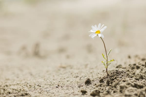 fiore in un deserto, simbolo della resilienza